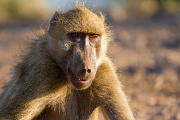 Baboons are endlessly entertaining to watch.