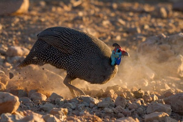The late afternoon sun shows off the brilliant colours of wild guinea fowl.