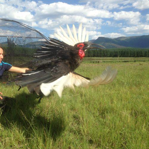 Mabula-GroundHornbill-WhitelyAward-07